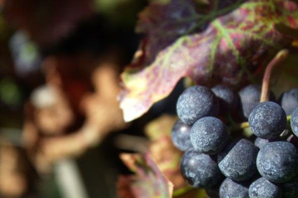concord grapes 590